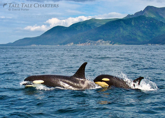 Orca Whale Watching Homer AK